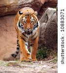 Tiger walking forward - stock photo
