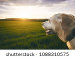 portrait of the happy dog at... | Shutterstock . vector #1088310575