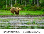 view of a female brown bear  in ... | Shutterstock . vector #1088378642