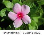 pretty pink impatient bloom | Shutterstock . vector #1088414522