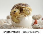 Stock photo close up baby tortoise hatching african spurred tortoise birth of new life cute baby animal 1088431898
