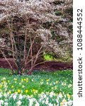 field of blooming  daffodils on ...   Shutterstock . vector #1088444552