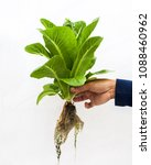 hydrophonic  picking hand | Shutterstock . vector #1088460962