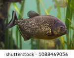 red piranha  pygocentrus... | Shutterstock . vector #1088469056
