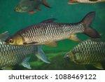 hoven's carp  leptobarbus... | Shutterstock . vector #1088469122