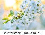 white spring flower in the... | Shutterstock . vector #1088510756