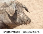hairless breed of black iberian ... | Shutterstock . vector #1088525876