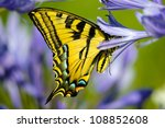 Yellow Tiger Swallowtail...