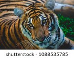 tiger on the lawn   Shutterstock . vector #1088535785