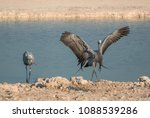 a male blue crane displays his... | Shutterstock . vector #1088539286