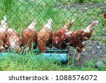 Group Of Free Range Brown Whit...