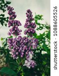 lilac. lilacs  syringa or...   Shutterstock . vector #1088605526