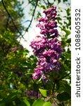 lilac. lilacs  syringa or...   Shutterstock . vector #1088605532