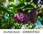 lilac. lilacs  syringa or...   Shutterstock . vector #1088605562