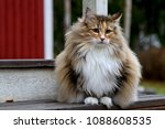 Stock photo norwegian forest cat female sitting on stairs outdoors 1088608535