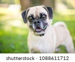 a cute pug beagle mixed breed... | Shutterstock . vector #1088611712