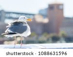 tousled bird seagull with city... | Shutterstock . vector #1088631596