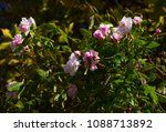 delicate thornless  silvery... | Shutterstock . vector #1088713892
