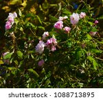 delicate thornless  silvery... | Shutterstock . vector #1088713895