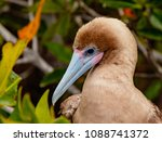 close up of red footed booby ... | Shutterstock . vector #1088741372