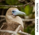 close up of red footed booby ... | Shutterstock . vector #1088741396
