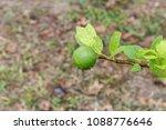 green lime on tree  fresh lemon | Shutterstock . vector #1088776646