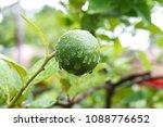 green lime on tree  fresh lemon | Shutterstock . vector #1088776652