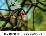 red dry flower left on branches ...   Shutterstock . vector #1088800778