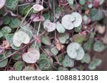 ceropegia woodii or chain of... | Shutterstock . vector #1088813018