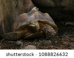 the african spurred tortoise or ... | Shutterstock . vector #1088826632