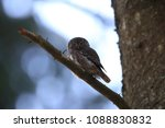 eurasian pygmy owl swabian jura ... | Shutterstock . vector #1088830832