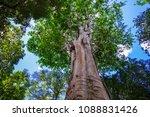 huge tree at botanic garden on...   Shutterstock . vector #1088831426