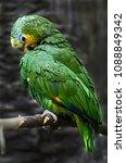 Small photo of Orange-winged amazon parrot. Latin name - Amazona amazonica