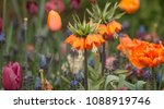 flowers of the imperial crown ... | Shutterstock . vector #1088919746