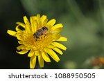 European Hover Fly Or Flower...