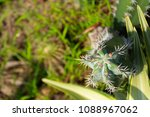 cactus grown as ornamental... | Shutterstock . vector #1088967062