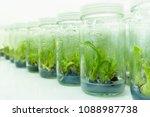 plant tissue culture | Shutterstock . vector #1088987738