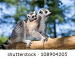 Stock photo ring tailed lemur with young on back 108904205