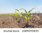 young green corn growing on the ... | Shutterstock . vector #1089095855