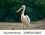 White Pelican In Al Areen Wild...