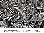 Zebra Herd Packed Tight