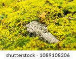 green lush moss on the stone.... | Shutterstock . vector #1089108206