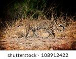 Walking Leopard In Luangwa Par...