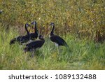 Spurwing Geese In A Field