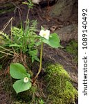Small photo of Two trillium plants. With white flowers. One long, one short. Growing near base of a tree