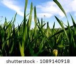 green wheat field | Shutterstock . vector #1089140918