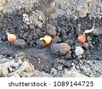 planting onions. planting seed ... | Shutterstock . vector #1089144725