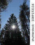 Small photo of The sun shines in the summer forest through a canopy of tall pine treesthrough a canopy of tall pine trees
