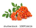 Bunch Of Red Rowan Isolated On...