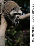 Small photo of Full body of lotor common raccoon on the tree trunk. Photography of wildlife.